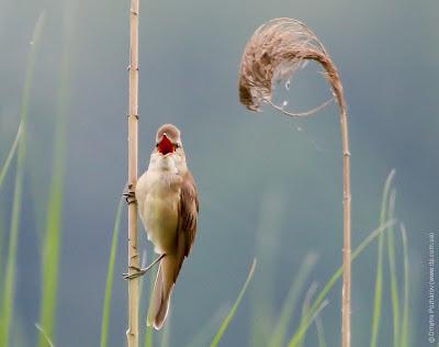 Дроздовидная камышевка. Great Reed Warbler. Acrocephalus arundinaceus