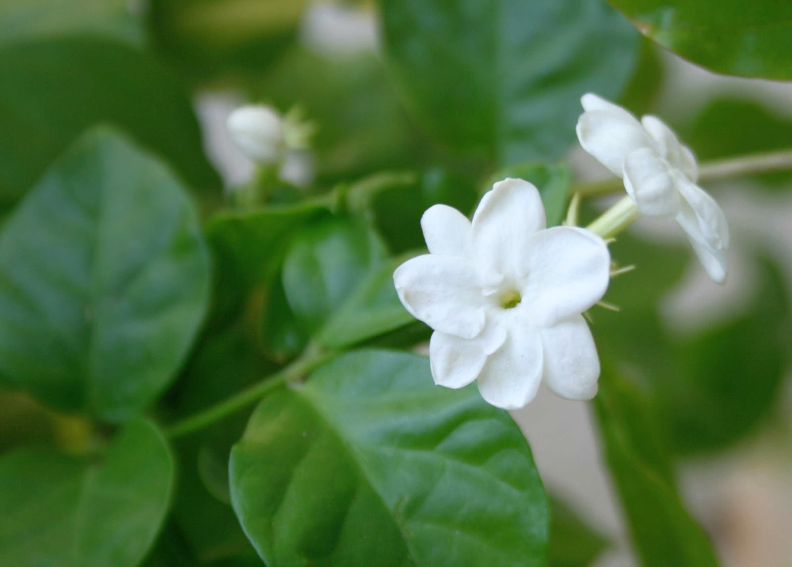Very Nice Little White Flowers Wallpapers