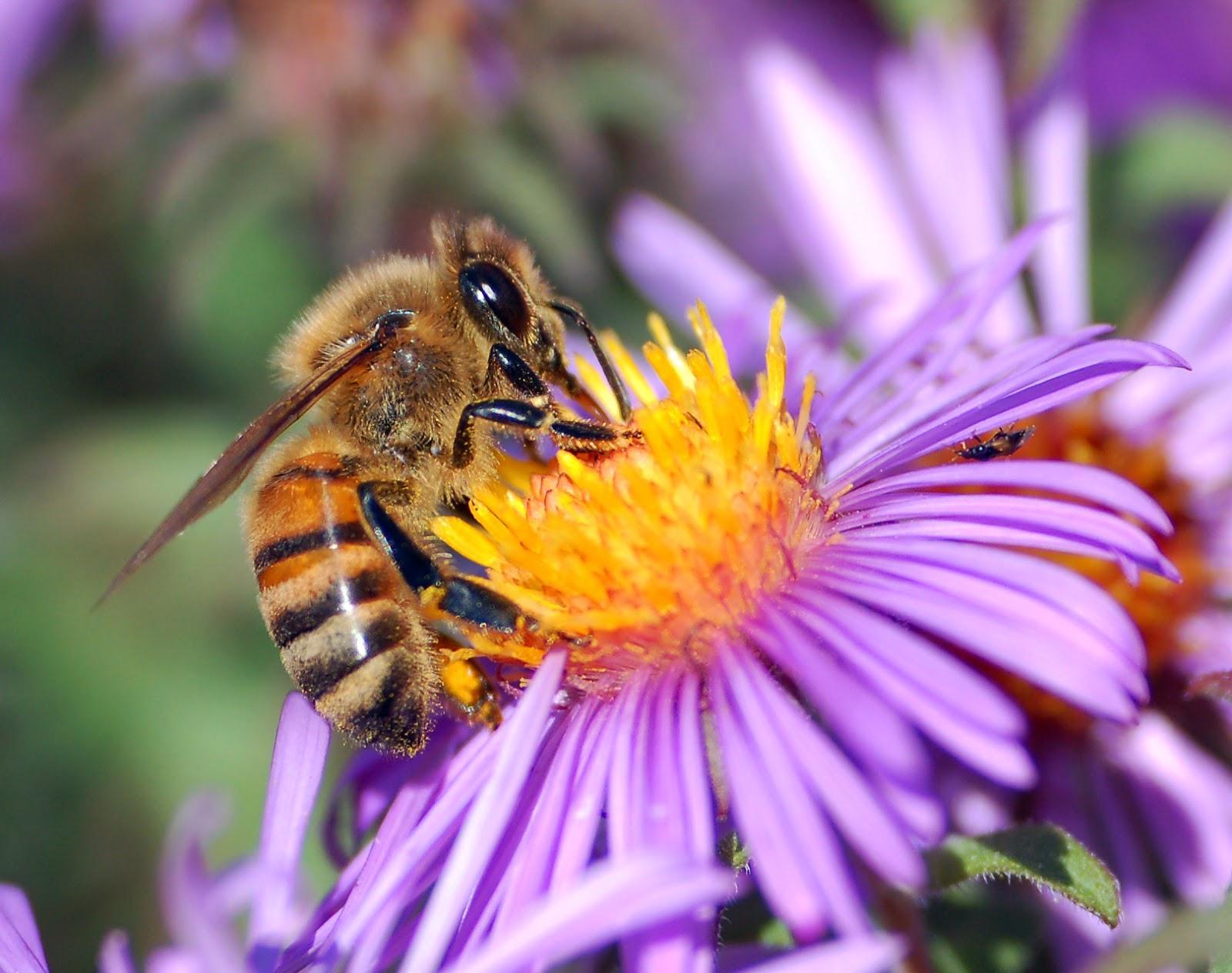 Agen pendebungaan serangga