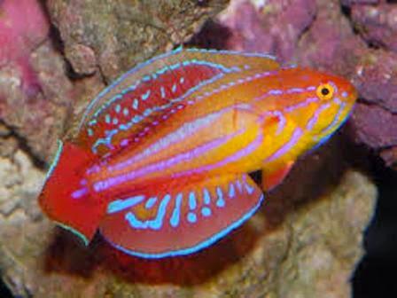 Hasil gambar untuk Ikan Wrasse