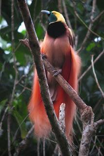 Descrição de uma Raggiana Bird-of-paradise, (Paradisaea raggiana).  Foto vista de baixo para cima com fundo desfocado, composto por ramadas de folhas. Em foco, pássaro de porte médio pousado em parte de um galho seco. A ave tem cabeça amarela e pequena, bico escuro mediano, garganta verde esmeralda e no peito superior, penas enegrecidas, delimitadas por um colarinho fino branco; a densa plumagem do corpo é marrom avermelhado, na cauda, grandes plumas nos flancos e na parte de trás, longos tufos de penas dourado-laranja nas laterais, que remetem a um longo manto aveludado. As garras acinzentadas são grandes e fortes.