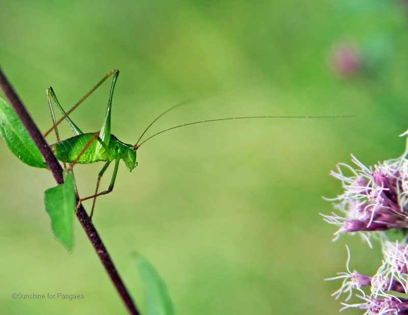 A male speckled bush-cricket (Leptophyes punctatissima).