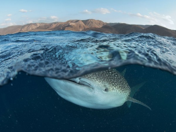 Whale Shark, Gulf of Tadjoura