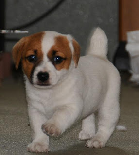 Cute Jack Russell Terrier Puppy Picture