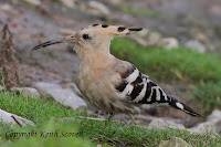 http://keithscovell.blogspot.co.uk/search/label/Hoopoe