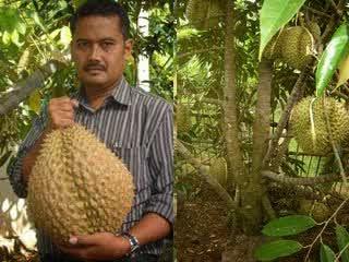 Santap Durian Harus Sesudah Makan Besar, Apa Iya?