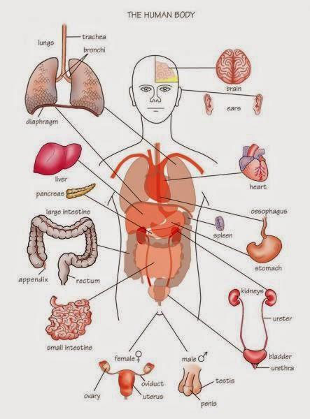 organ pada tubuh manusia