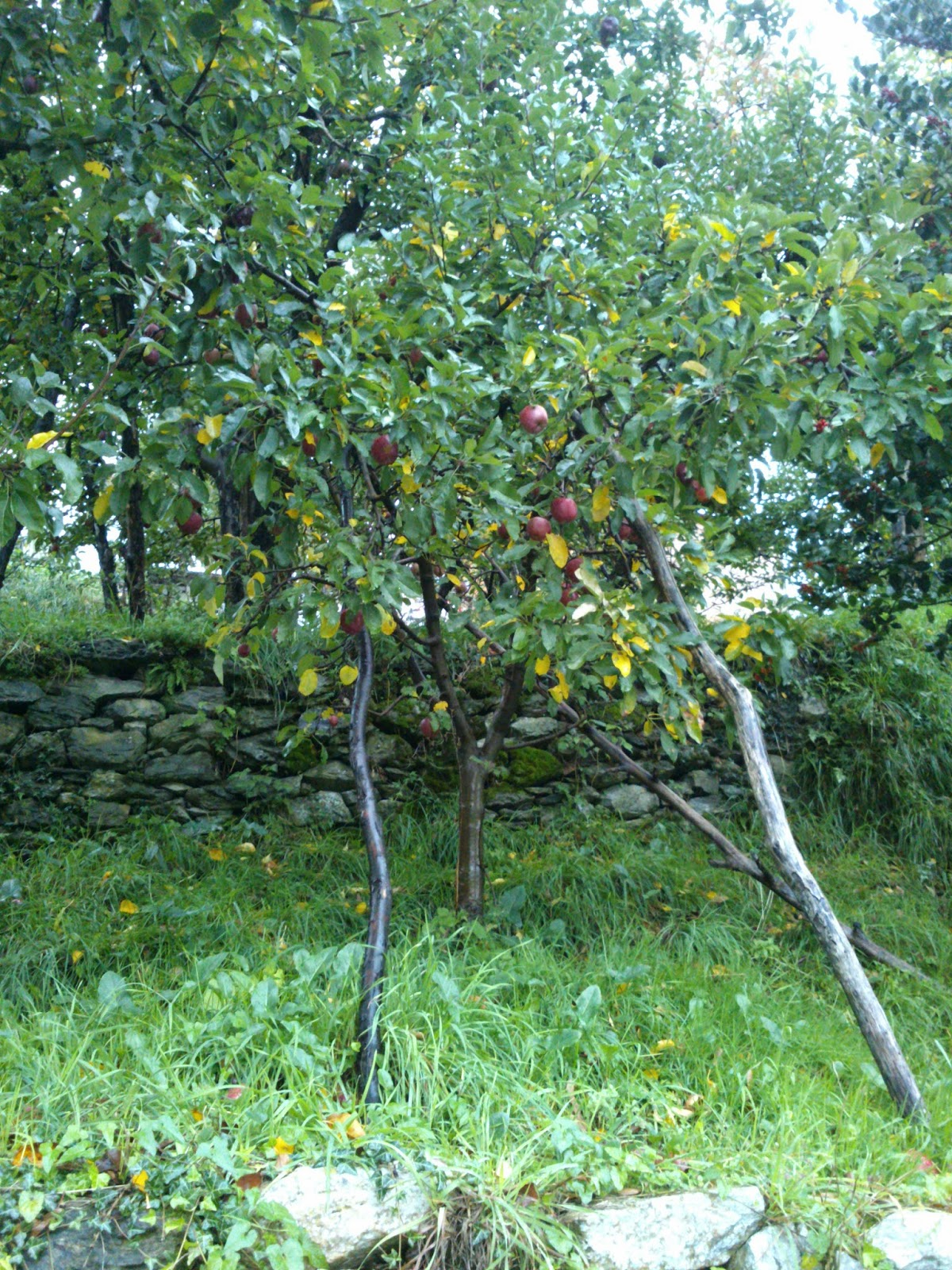Apple trees in Zagora, Pilio