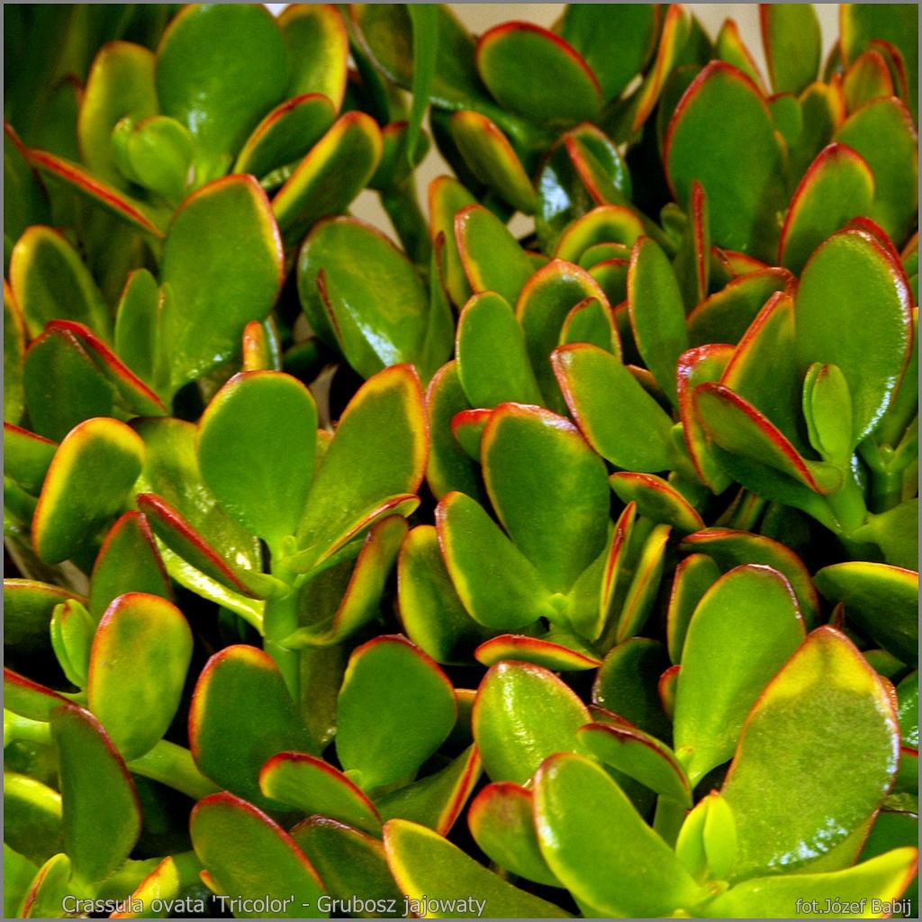 Crassula ovata 'Tricolor' - Grubosz jajowaty