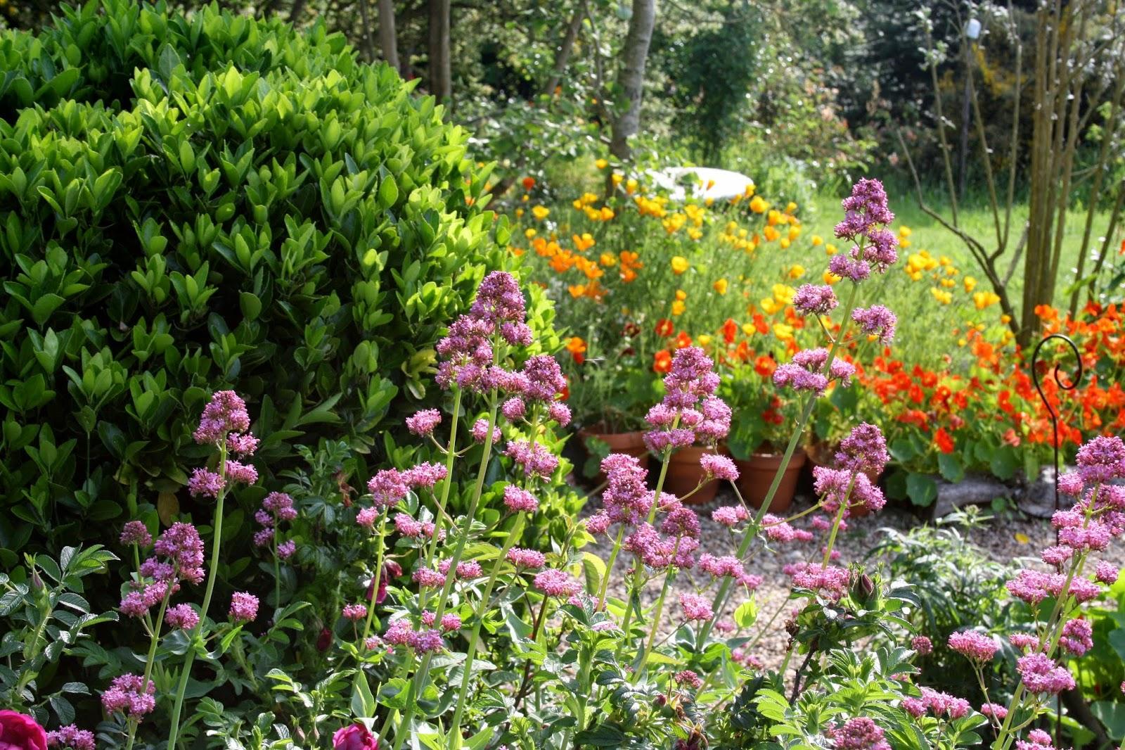 El jard n de margarita centranthus ruber digitalis for Jardin 81 treinta y tres