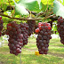 Menyulap Anggur Jadi Rujak