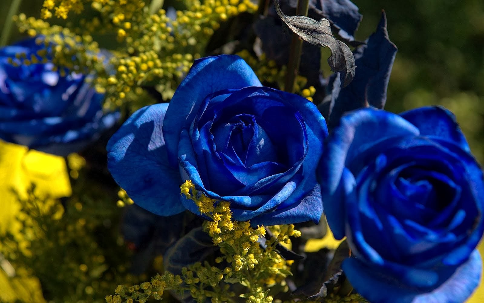 blue rose wallpaper background beautiful desktop
