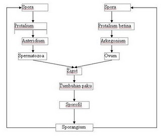 armyista fidyah: TUMBUHAN PAKU (PTERYDOPHYTA)