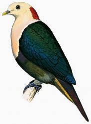 Red naped fruit dove