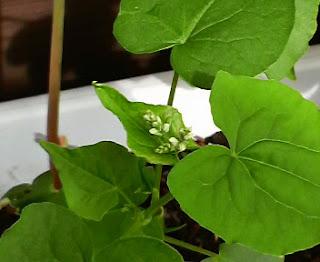 そばの花にも小さい白いつぼみのようなものがついてきました