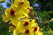 A primeira com flores do Paubrasil e a segunda do Ipê amarelo. (flor pau brasil)