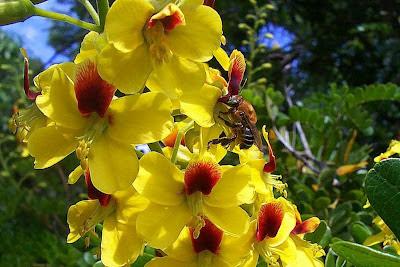 Flores do pau-brasil com abelha de Nivaldo Almeida