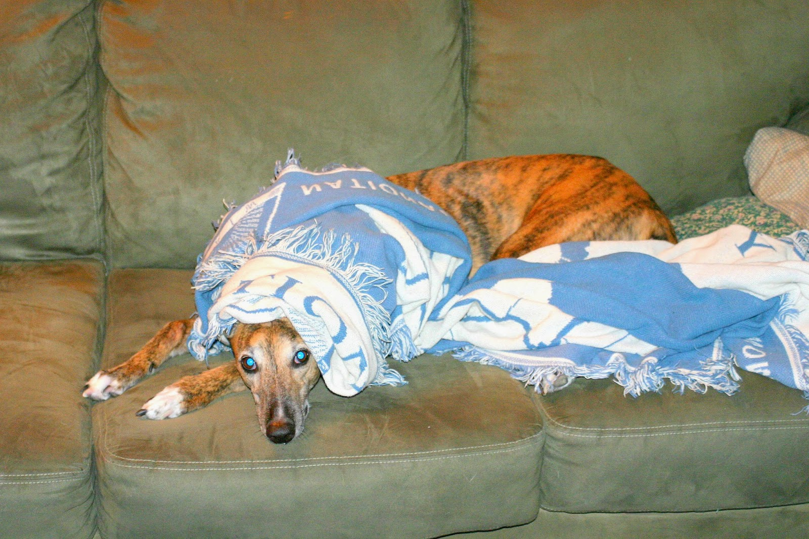 Girly Girl Greyhound under cover