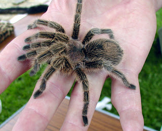 tarantula chilean rose fire red haires grammostola rosea spider poisonous animal pets wallpaper