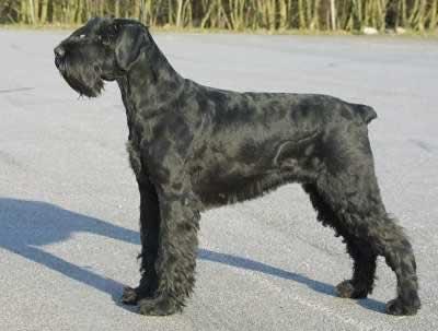 Cão das Botas: Tosquia do Schnauzer (Gigante, Médio e Miniatura)