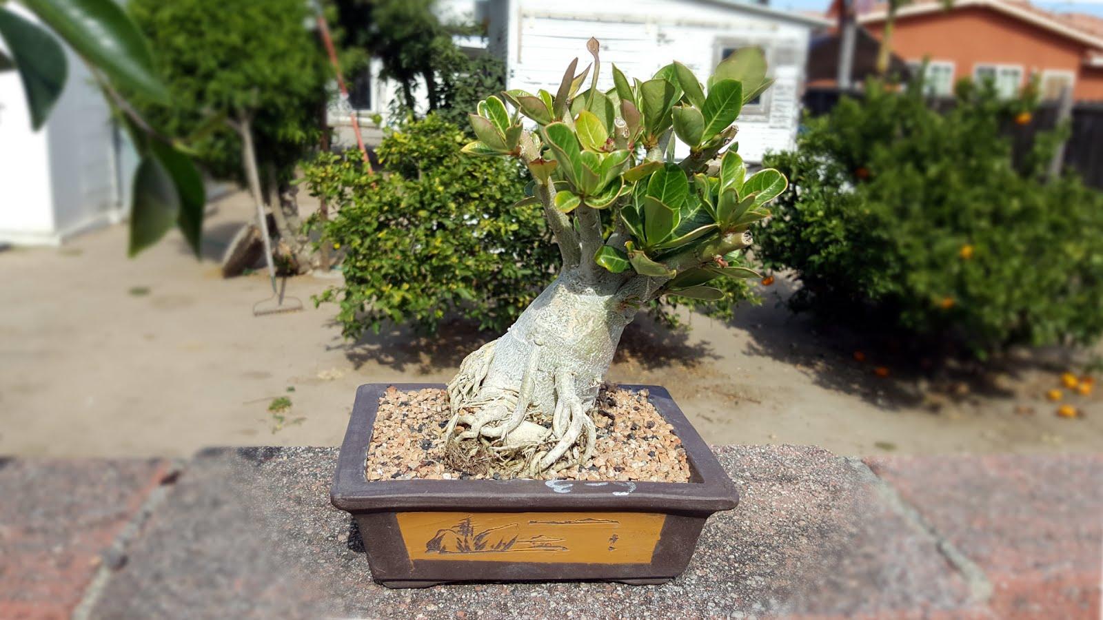 Bonsai Misadventures Desert Rose Succulent Bonsai Adenium Obesum