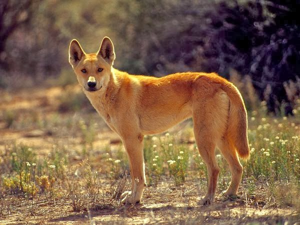 Legendary Wolf of Australia - The Dingo (Video)