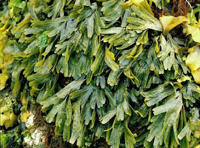 agathis alba - flora yang ada di papua