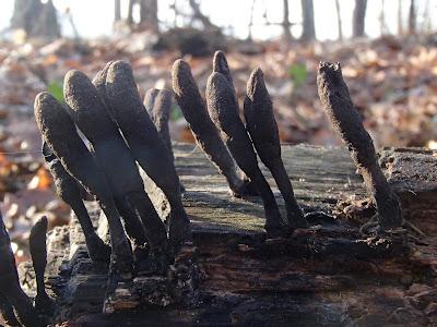 próchnilec długotrzonkowy, Xylaria longipes