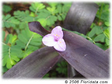 Tradescantia pallida-Purple Heart or Purple Wandering Jew