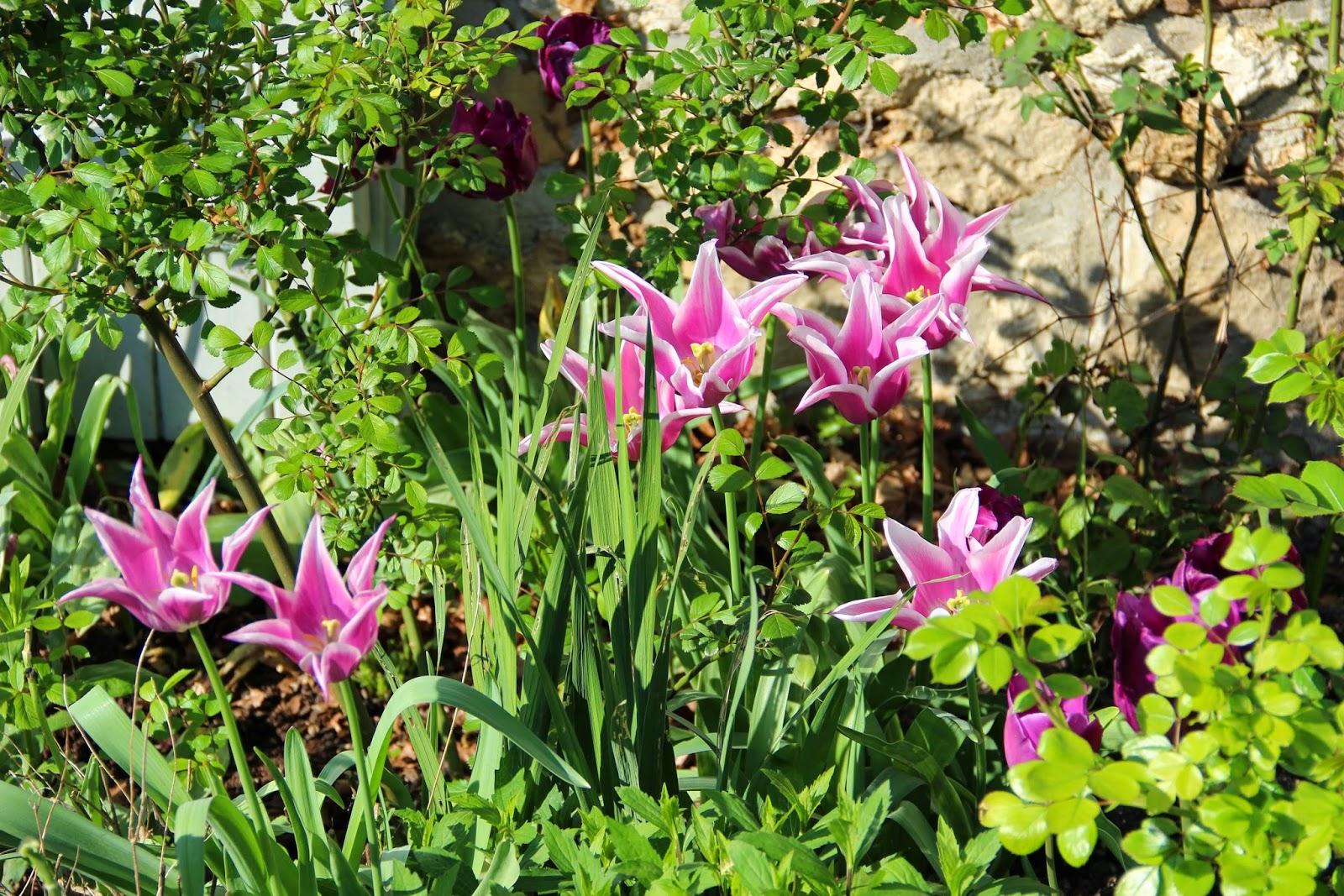 Derri re les murs de mon jardin les reines du premier printemps - Derriere les murs de mon jardin ...
