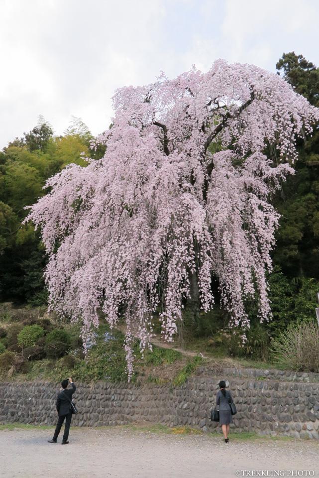 ome-baiganji-sakura