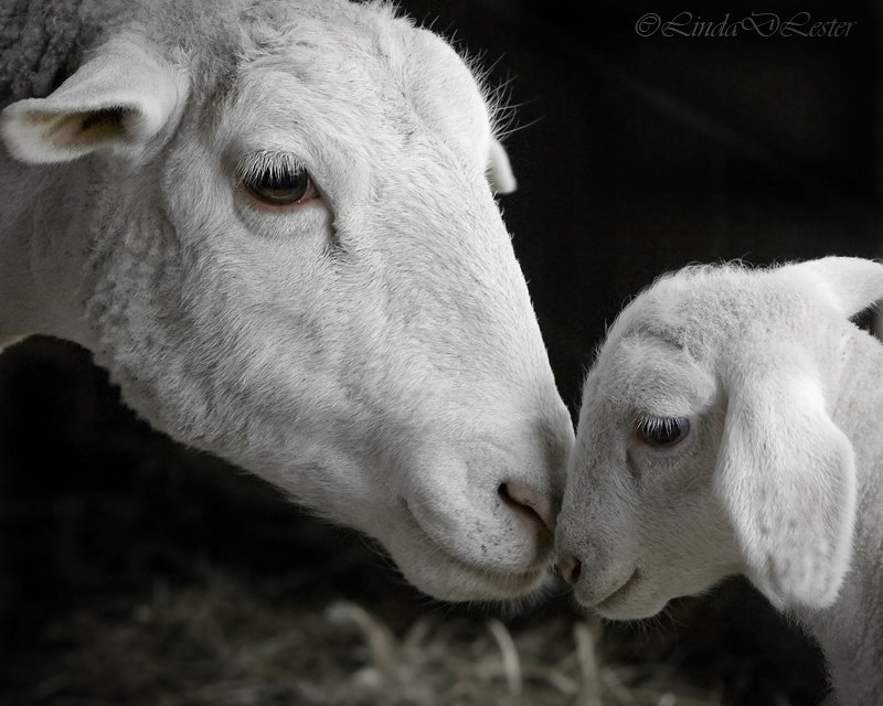 sheep+teaching+psychic+animal+eqafe+ylaw+leila.jpg