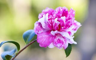 Camellia Flower HD Desktop Background Wallpaper
