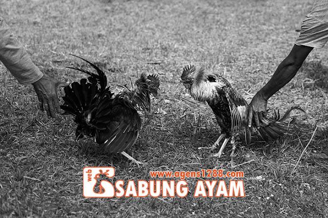 Hasil Pertandingan Arena AR3 Sabung Ayam S1228.net 08 November 2015