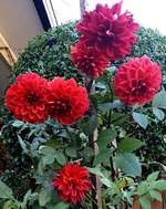 Dahlias growing in a pot