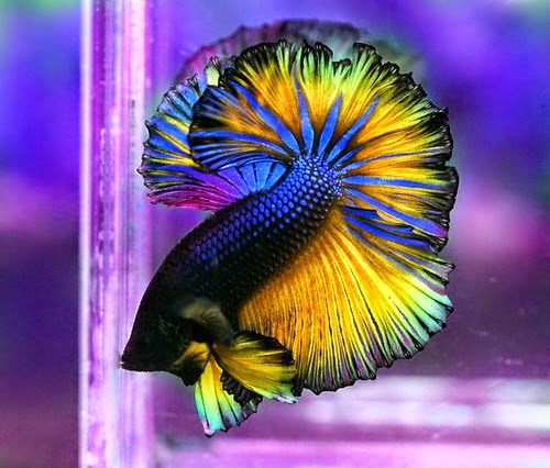 Betta fish photos wallpapers the fun bank for Betta fish personality