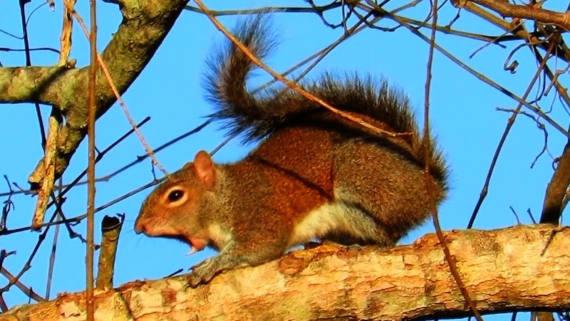 Cute Squirrel Yawns Stretches and Grooms