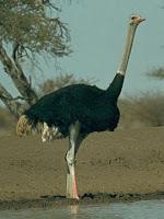 Avestruz el ave mas grande del mundo