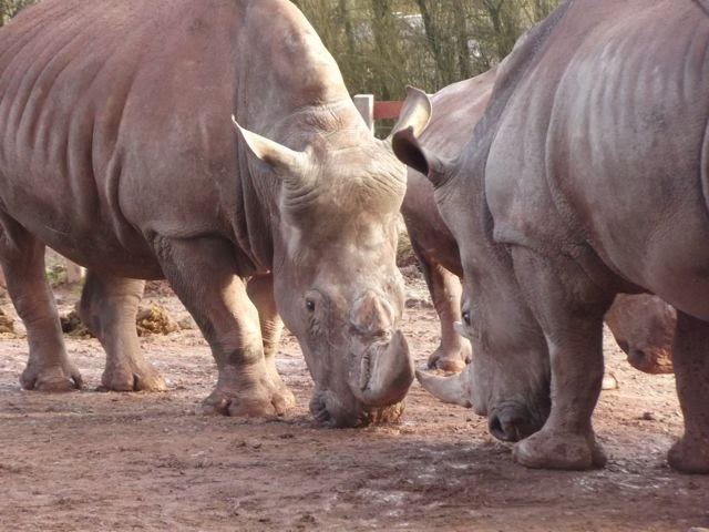 Rhino argy bargy