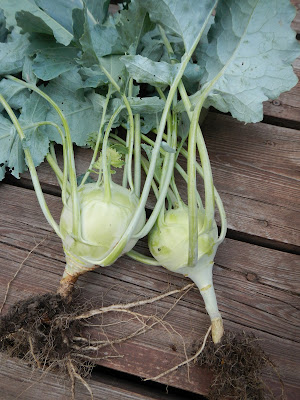 how to grow and preserve kohlrabi