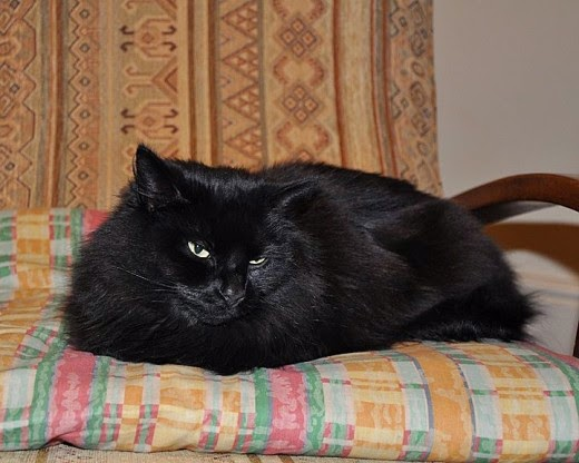 fluffy black cat