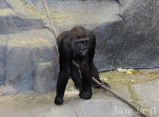 Pretty Gorilla