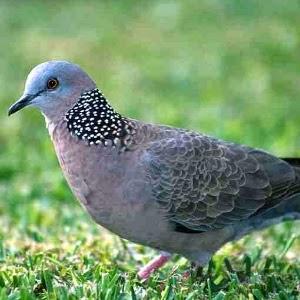 Foto Burung Derkuku Jantan