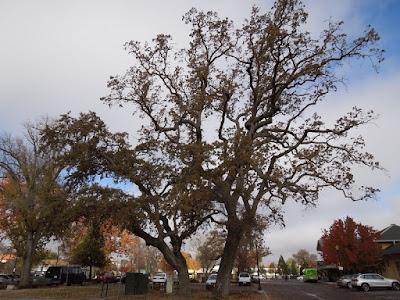 Oak Trees at North County Transport Center, © B. Radisavljevic