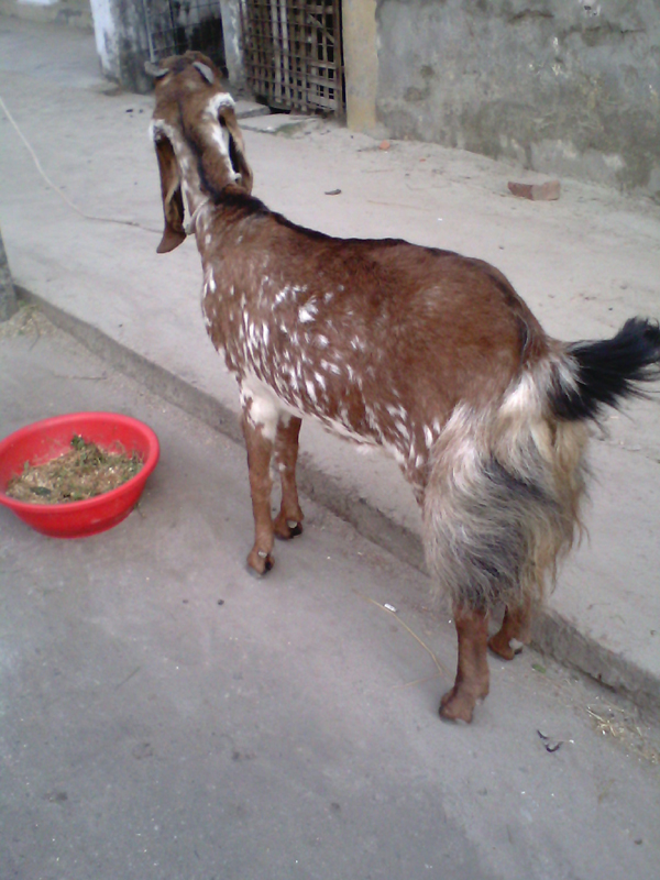 jamunapari goats, Indian goat breeds, best dairy goats, best milker goats, best milk goats