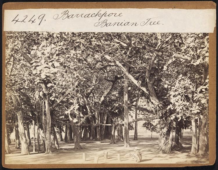 Barrackpore Banian Tree - 19th Century