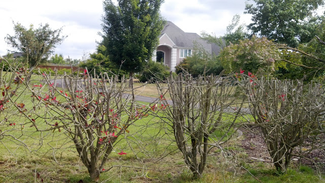 A small portion of the Kekels' mansion off   145th Ave. and 224th St. in Graham, WA is   visible through the shroud of shrubs.  If they are doing right, why do they hide so much?  DEMAND FULL FINANCIAL DISCLOSURE FROM YOUR NON-PROFIT.