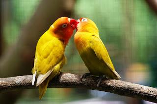 sepasang lovebird berjodoh, sepasang lovebird, lovebird berjodoh