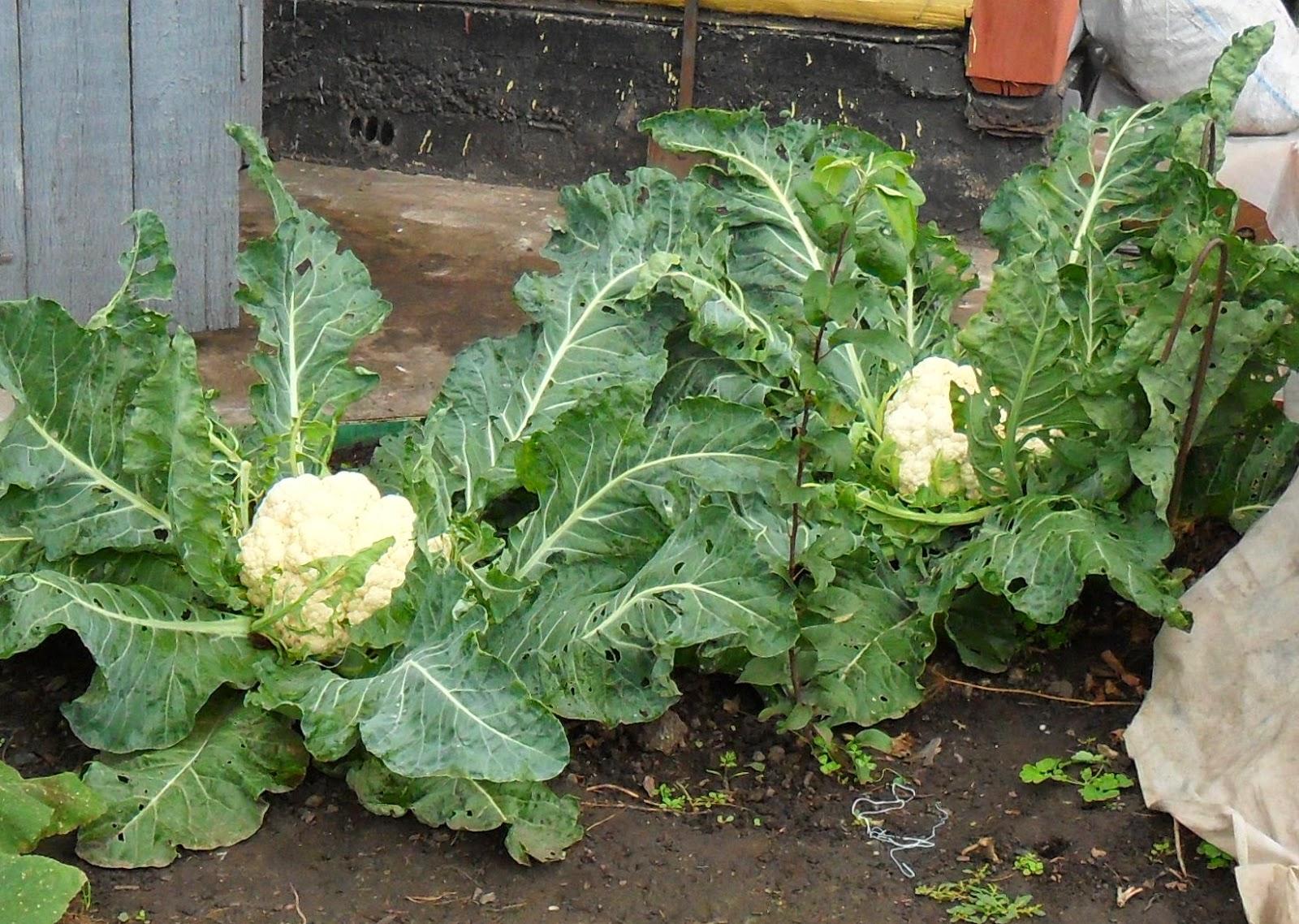 Все о выращивании капусты. Что надо знать 93