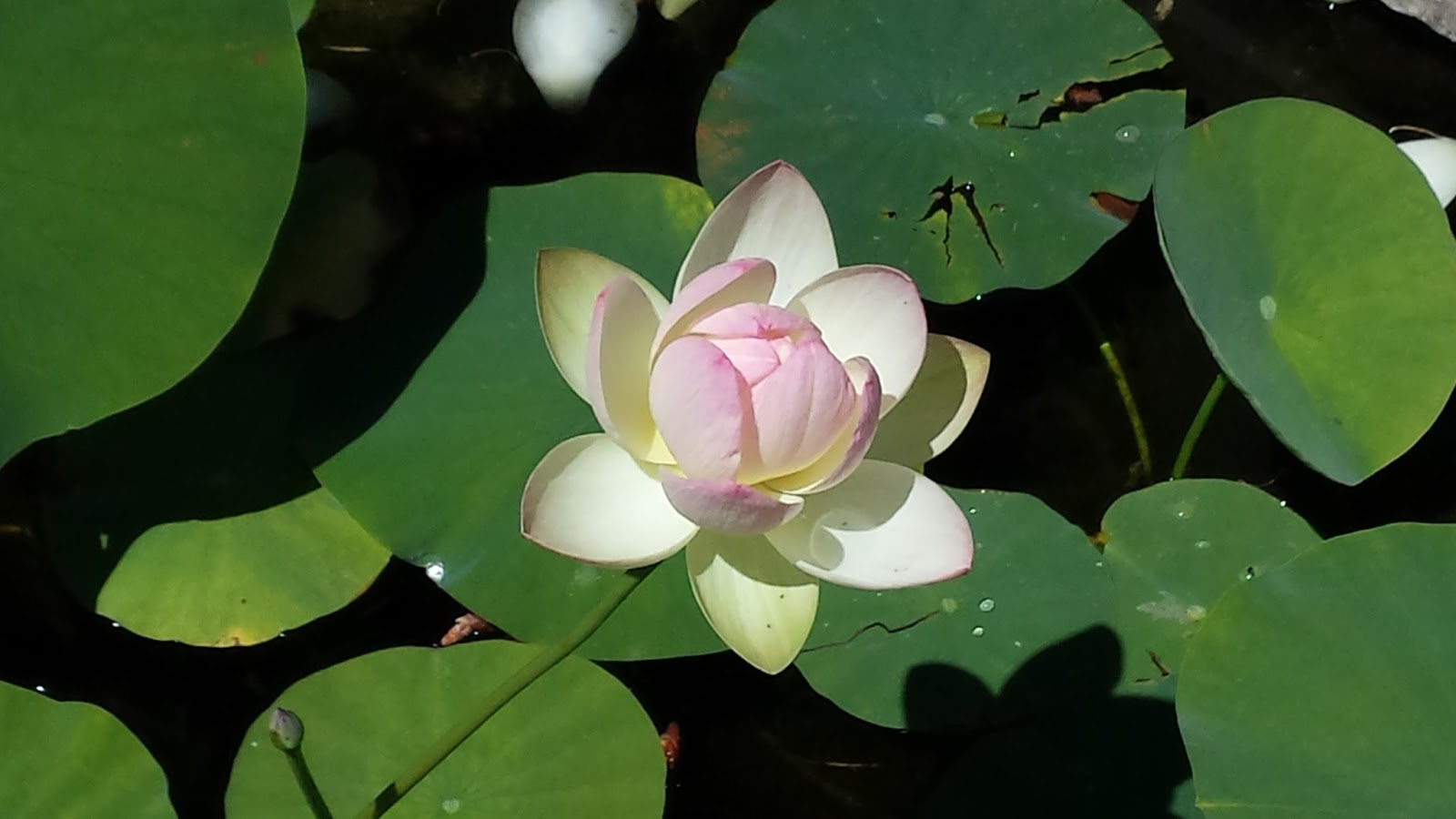 The lotus flower never a niche in early egyptian times the lotus was associated with the sun as the sun rose the lotus flower would bloom and as the sun set the flower would close izmirmasajfo